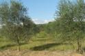 Campo Erê volta a discutir  plantio de oliveiras