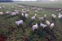 Leilão de gado geral será neste sábado em Campo Erê